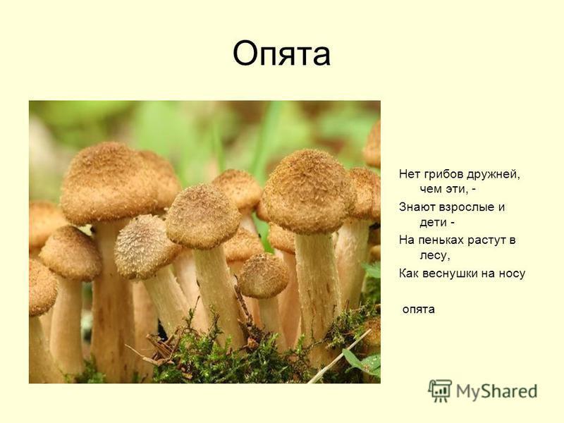 Опята Нет грибов дружней, чем эти, - Знают взрослые и дети - На пеньках растут в лесу, Как веснушки на носу опята