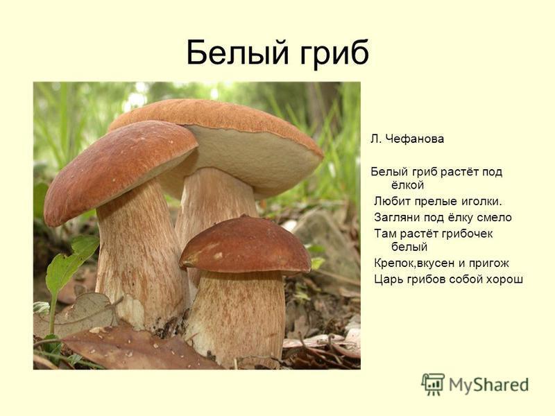 Белый гриб Л. Чефанова Белый гриб растёт под ёлкой Любит прелые иголки. Загляни под ёлку смело Там растёт грибочек белый Крепок,вкусен и пригож Царь грибов собой хорош