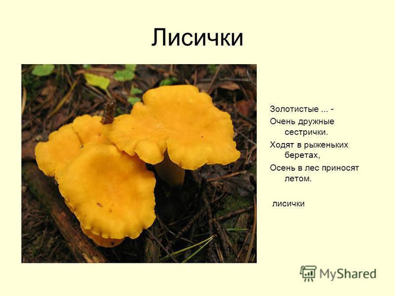 Лисички Золотистые... - Очень дружные сестрички. Ходят в рыженьких беретах, Осень в лес приносят летом. лисички