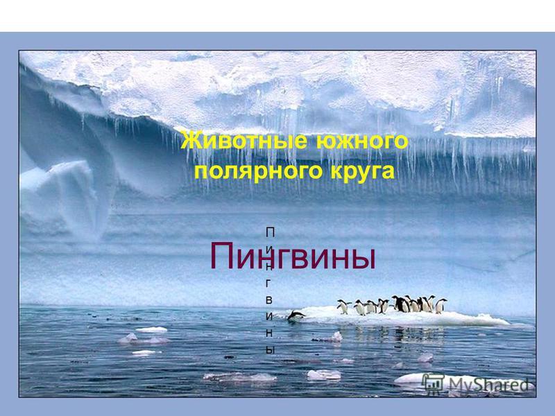 Животные южного полярного круга Пингвины Пингвины Пингвины
