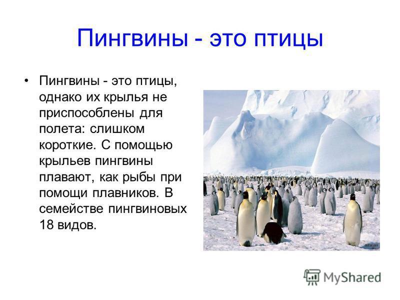 Пингвины - это птицы Пингвины - это птицы, однако их крылья не приспособлены для полета: слишком короткие. С помощью крыльев пингвины плавают, как рыбы при помощи плавников. В семействе пингвиновых 18 видов.