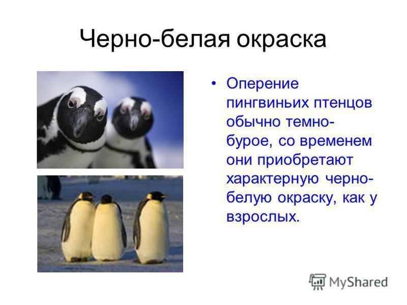 Черно-белая окраска Оперение пингвиньих птенцов обычно темно- бурое, со временем они приобретают характерную черно- белую окраску, как у взрослых.