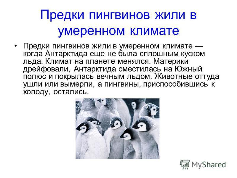 Предки пингвинов жили в умеренном климате Предки пингвинов жили в умеренном климате когда Антарктида еще не была сплошным куском льда. Климат на планете менялся. Материки дрейфовали, Антарктида сместилась на Южный полюс и покрылась вечным льдом. Живо