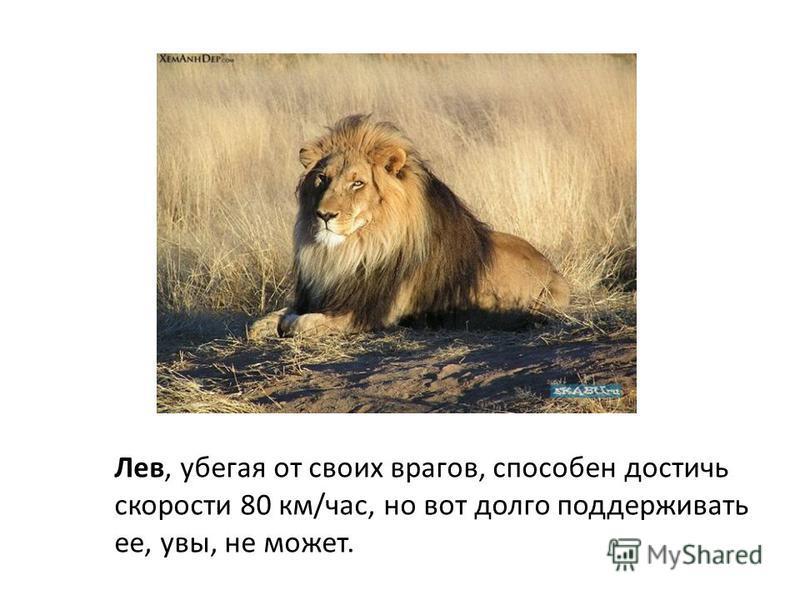 Лев, убегая от своих врагов, способен достичь скорости 80 км/час, но вот долго поддерживать ее, увы, не может.
