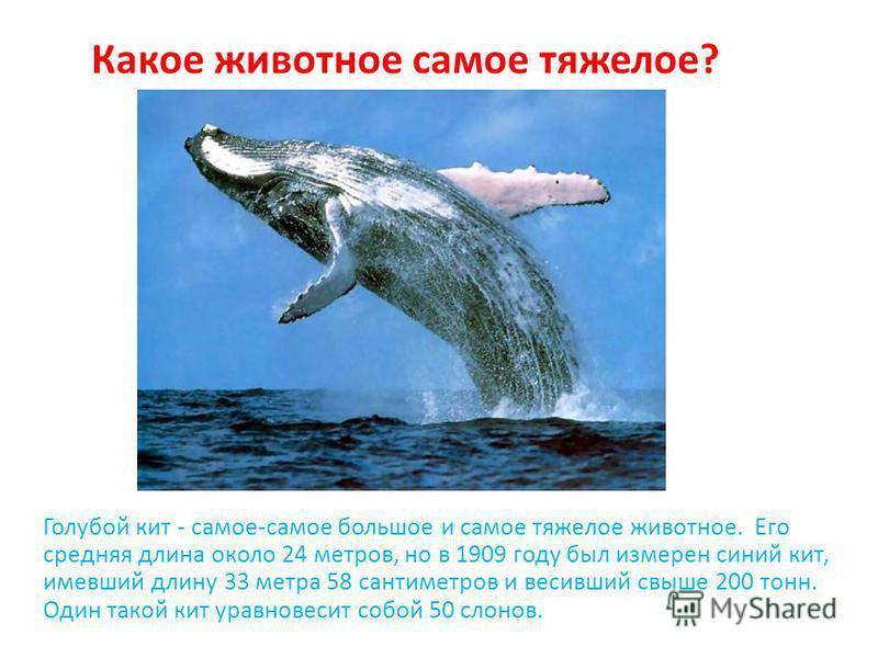 Голубой кит - самое-самое большое и самое тяжелое животное. Его средняя длина около 24 метров, но в 1909 году был измерен синий кит, имевший длину 33 метра 58 сантиметров и весивший свыше 200 тонн. Один такой кит уравновесит собой 50 слонов. Какое жи