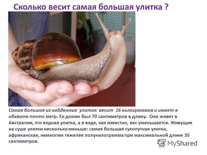 Самая большая из найденных улиток весит 16 килограммов и имеет в обхвате почти метр. Ее домик был 70 сантиметров в длину. Она живет в Австралии, это водная улитка, а в воде, как известно, вес уменьшается. Живущие на суше улитки несколько меньше: сама