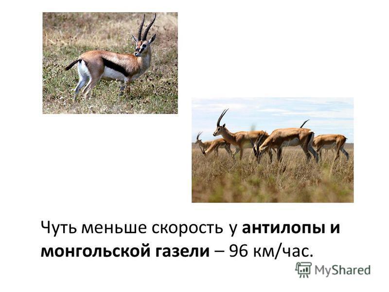 Чуть меньше скорость у антилопы и монгольской газели – 96 км/час.