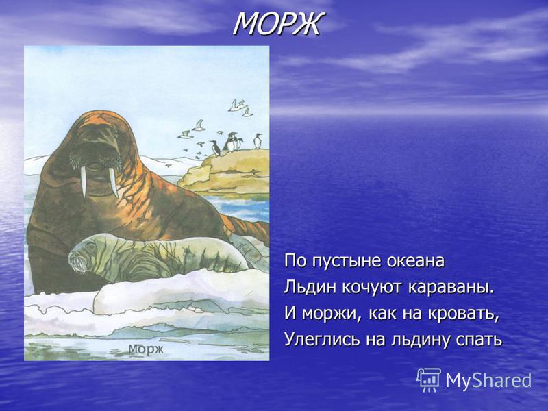 МОРЖ По пустыне океана Льдин кочуют караваны. И моржи, как на кровать, Улеглись на льдину спать