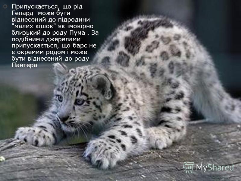 Припускається, що рід Гепард може бути віднесений до підродини малих кішок як імовірно близький до роду Пума. За подібними джерелами припускається, що барс не є окремим родом і може бути віднесений до роду Пантера
