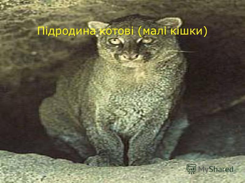 Підродина котові (малі кішки)