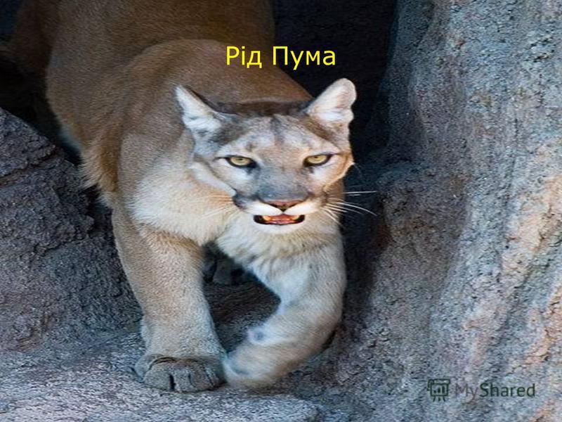 Рід Пума