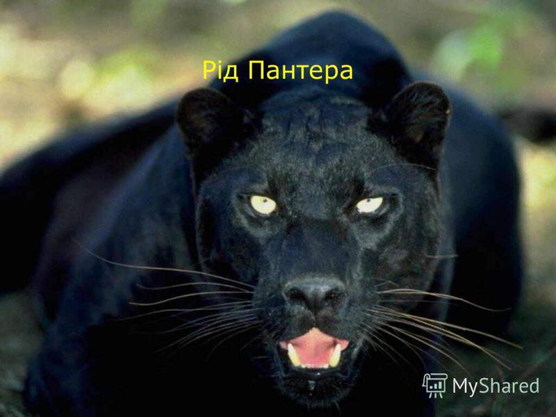 Рід Пантера