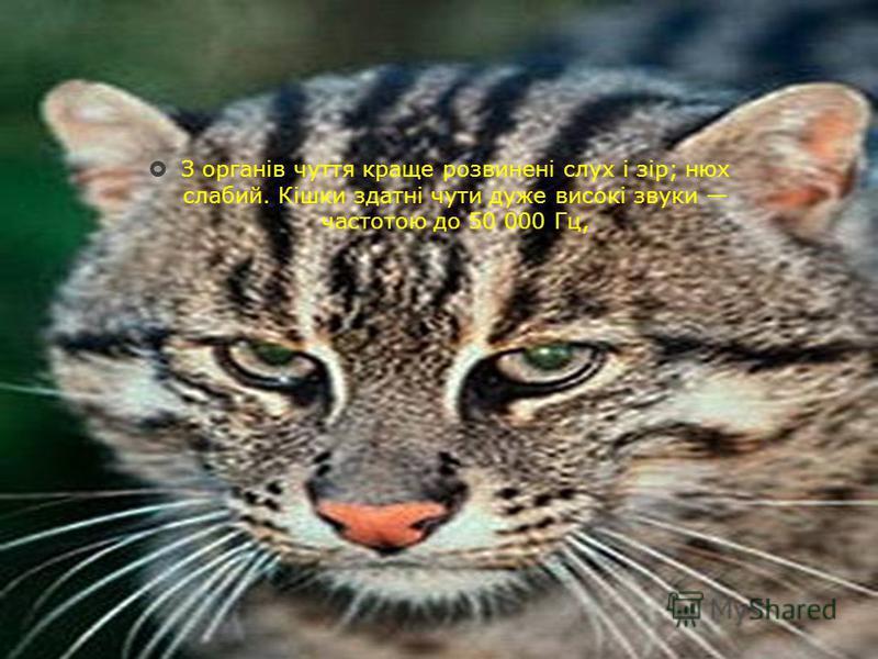 З органів чуття краще розвинені слух і зір; нюх слабий. Кішки здатні чути дуже високі звуки частотою до 50 000 Гц,