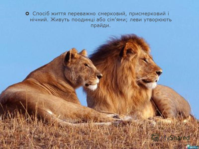 Спосіб життя переважно смерковий, присмерковий і нічний. Живуть поодинці або сім'ями; леви утворюють прайди.