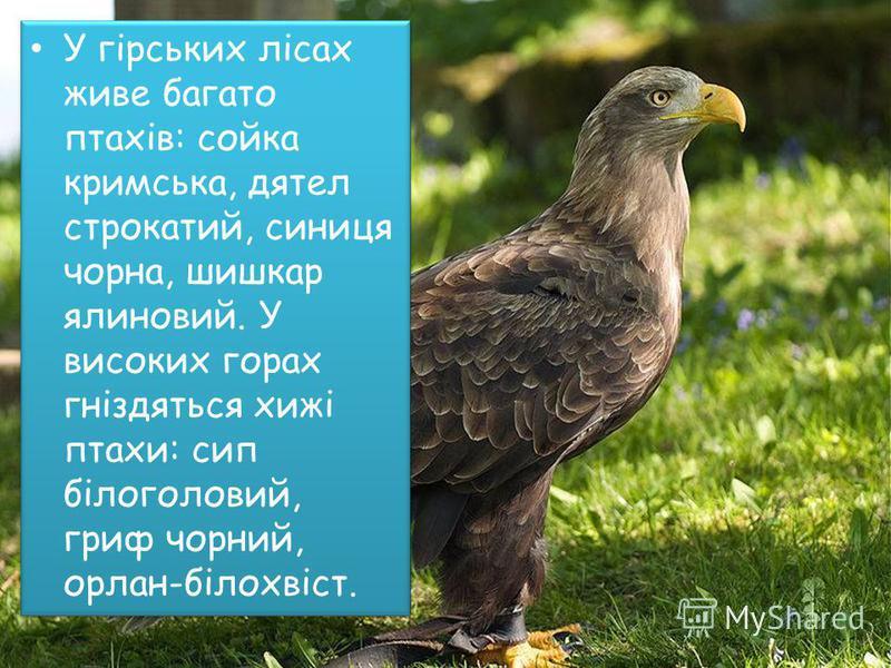 У гірських лісах живе багато птахів: сойка кримська, дятел строкатий, синиця чорна, шишкар ялиновий. У високих горах гніздяться хижі птахи: сип білоголовий, гриф чорний, орлан-білохвіст.