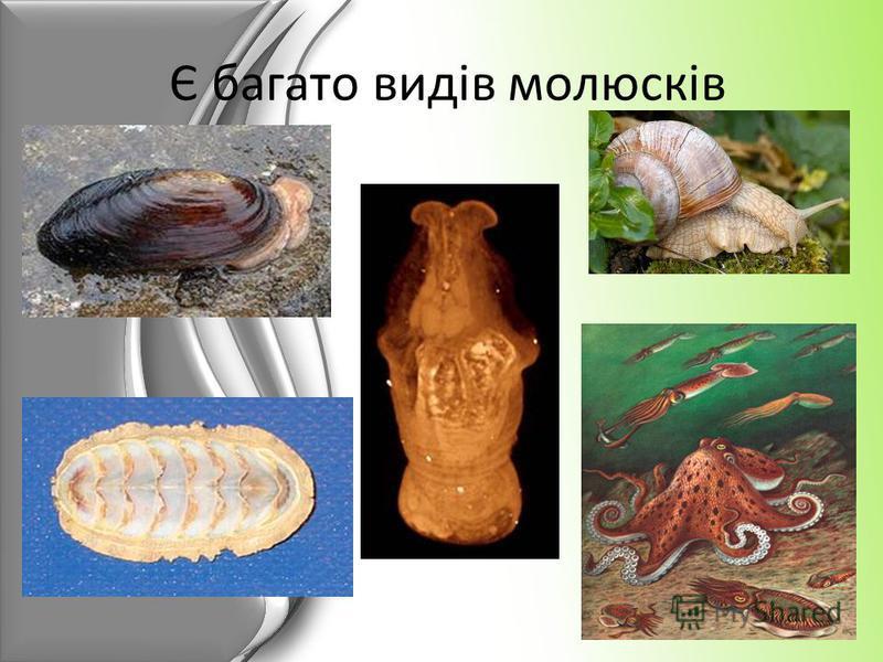 Є багато видів молюсків