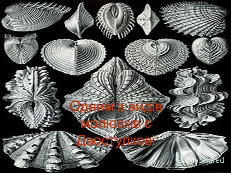 Двостулкові Одним з видів молюсків є Двостулкові