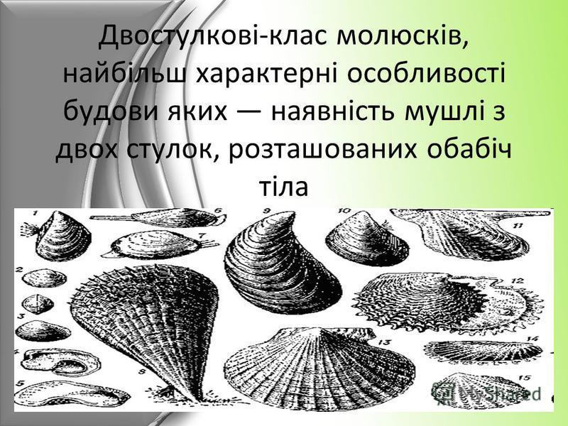 Двостулкові-клас молюсків, найбільш характерні особливості будови яких наявність мушлі з двох стулок, розташованих обабіч тіла