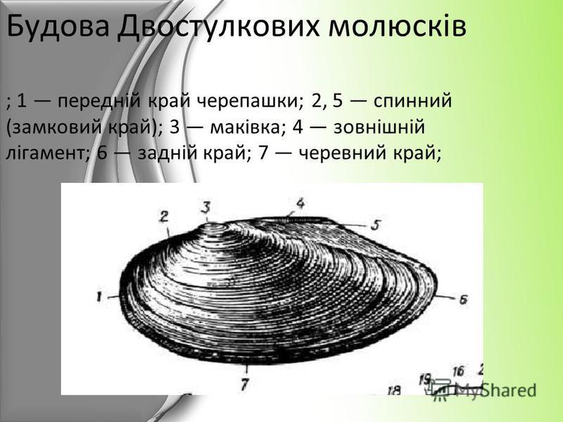 Будова Двостулкових молюсків ; 1 передній край черепашки; 2, 5 спинний (замковий край); 3 маківка; 4 зовнішній лігамент; 6 задній край; 7 черевний край;