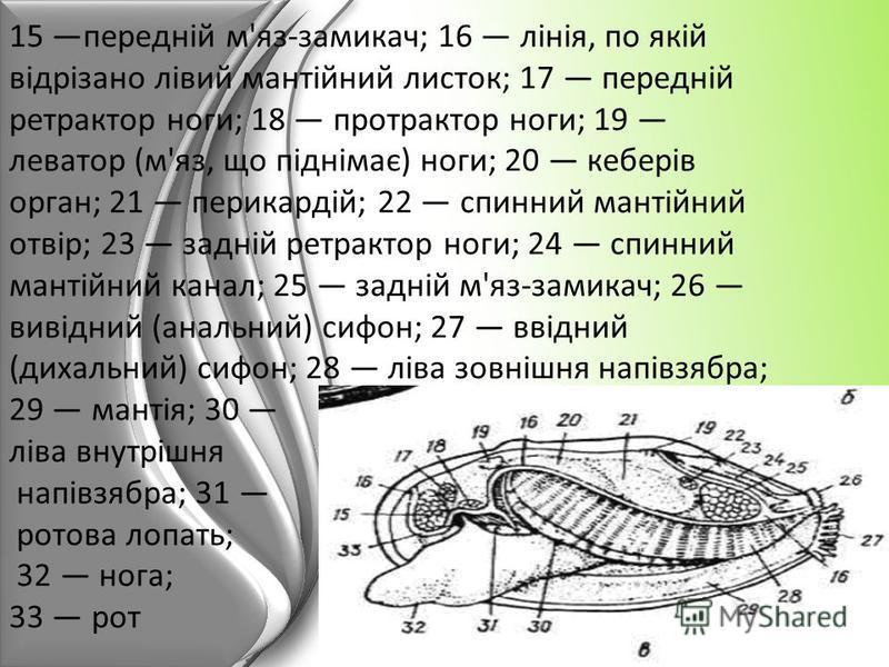 15 передній м'яз-замикач; 16 лінія, по якій відрізано лівий мантійний листок; 17 передній ретрактор ноги; 18 протрактор ноги; 19 леватор (м'яз, що піднімає) ноги; 20 кеберів орган; 21 перикардій; 22 спинний мантійний отвір; 23 задній ретрактор ноги;