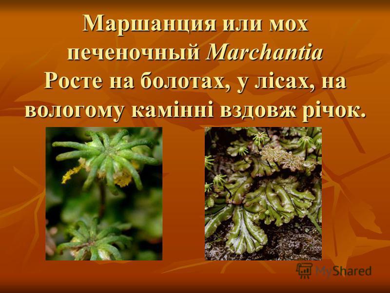 Маршанция или мох печеночный Marchantia Росте на болотах, у лісах, на вологому камінні вздовж річок.