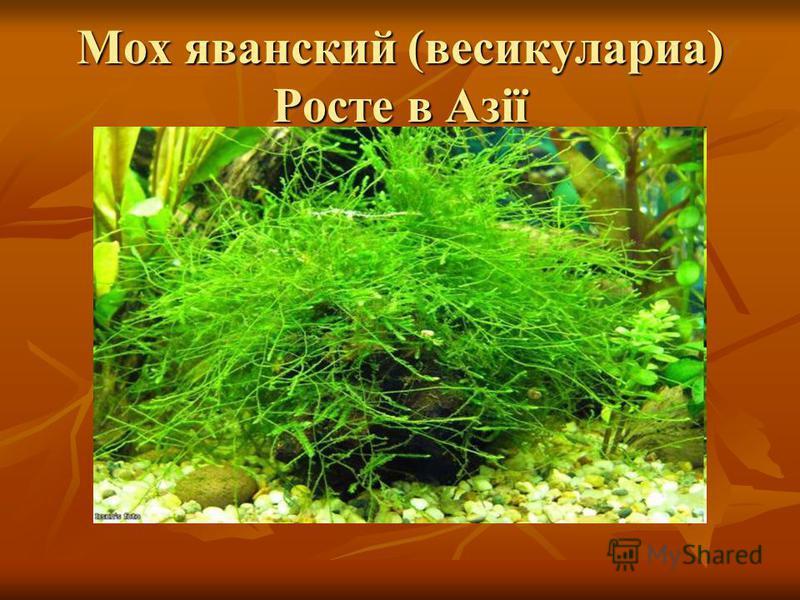 Мох яванский (весикулариа) Росте в Азії