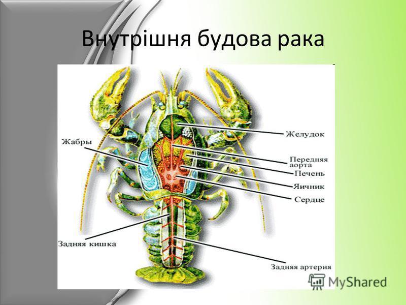 Внутрішня будова рака