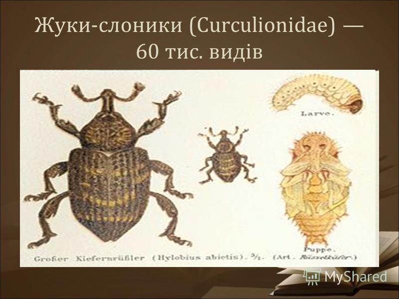 Жуки-слоники (Curculionidae) 60 тис. видів