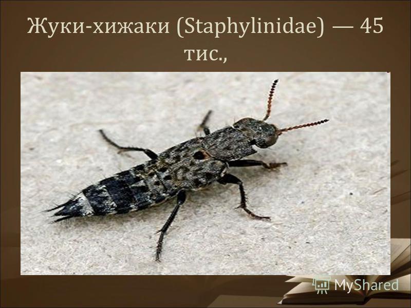Жуки-хижаки (Staphylinidae) 45 тис.,