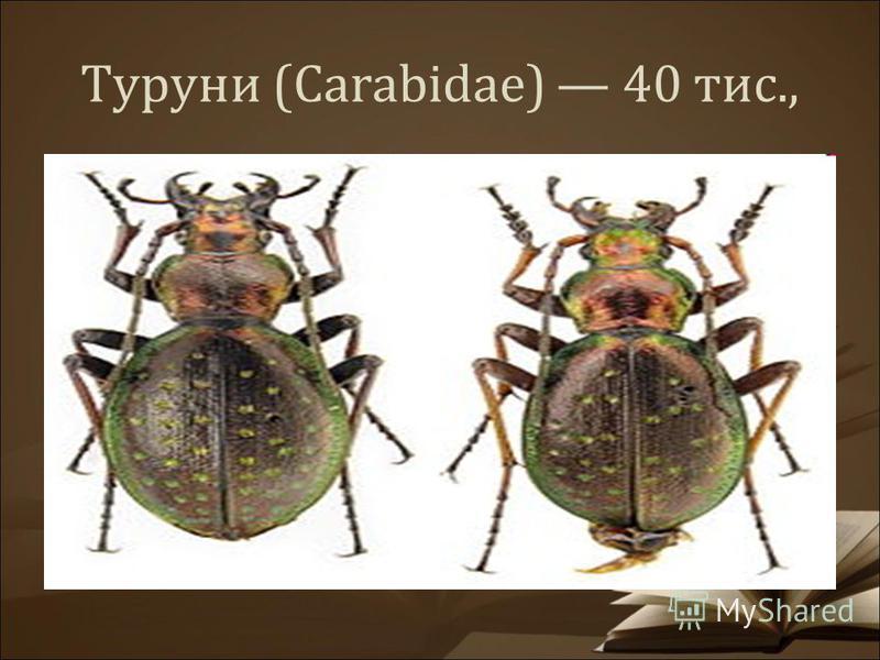 Туруни (Carabidae) 40 тис.,