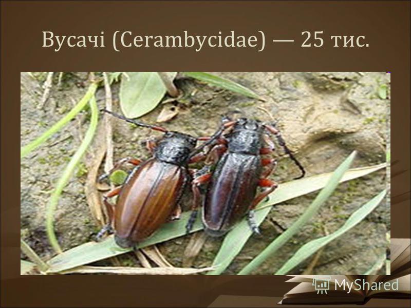 Вусачі (Cerambycidae) 25 тис.