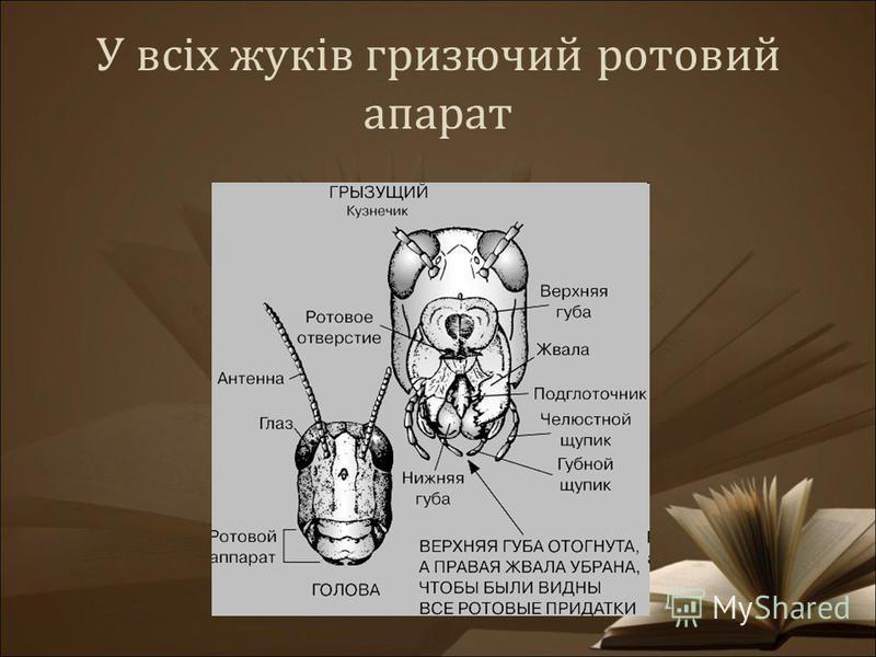 У всіх жуків гризючий ротовий апарат