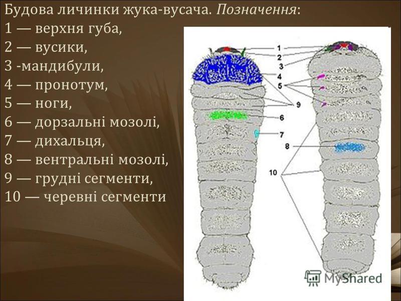 Будова личинки жука-вусача. Позначення: 1 верхня губа, 2 вусики, 3 -мандибули, 4 пронотум, 5 ноги, 6 дорзальні мозолі, 7 дихальця, 8 вентральні мозолі, 9 грудні сегменти, 10 черевні сегменти