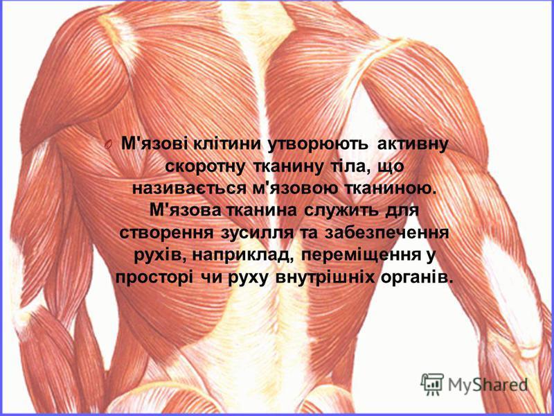 O М ' язові клітини утворюють активну скоротну тканину тіла, що називається м ' язовою тканиною. М ' язова тканина служить для створення зусилля та забезпечення рухів, наприклад, переміщення у просторі чи руху внутрішніх органів.