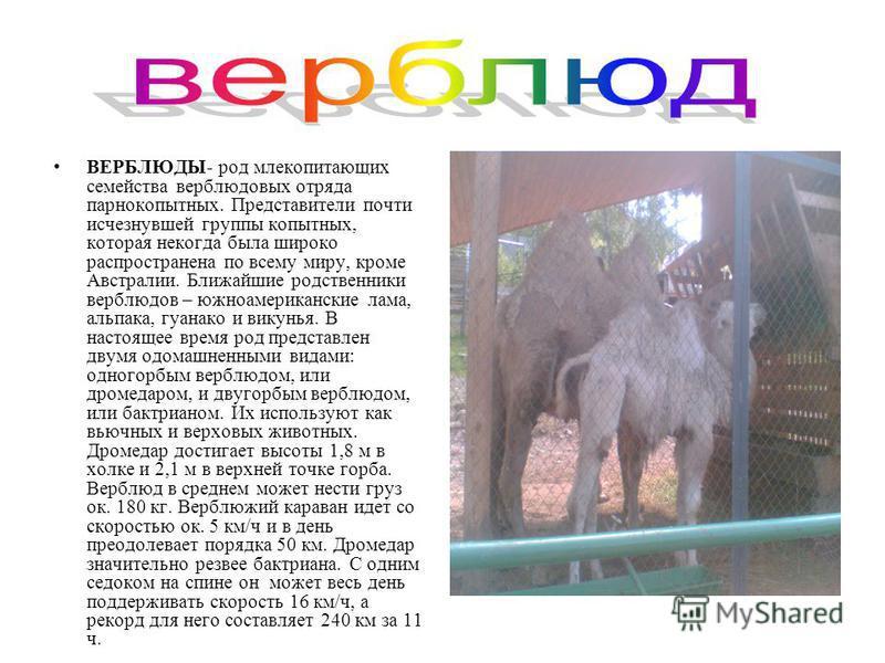 ВЕРБЛЮДЫ- род млекопитающих семейства верблюдовых отряда парнокопытных. Представители почти исчезнувшей группы копытных, которая некогда была широко распространена по всему миру, кроме Австралии. Ближайшие родственники верблюдов – южноамериканские ла