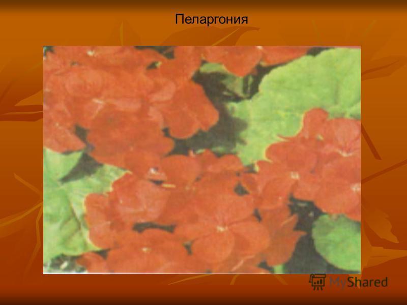 Пеларгония