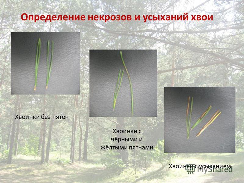 Определение некрозов и усыханий хвои Хвоинки без пятен Хвоинки с чёрными и жёлтыми пятнами Хвоинки с усыханием