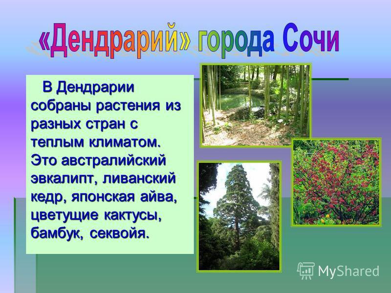 В Дендрарии собраны растения из разных стран с теплым климатом. Это австралийский эвкалипт, ливанский кедр, японская айва, цветущие кактусы, бамбук, секвойя.