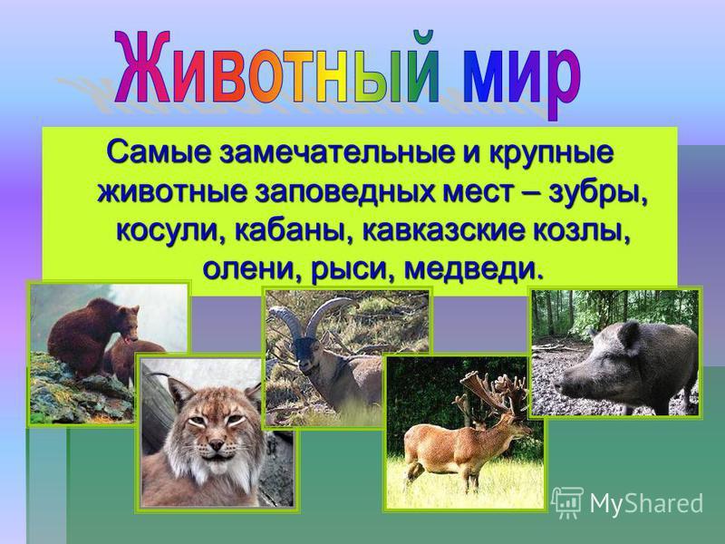 Самые замечательные и крупные животные заповедных мест – зубры, косули, кабаны, кавказские козлы, олени, рыси, медведи.