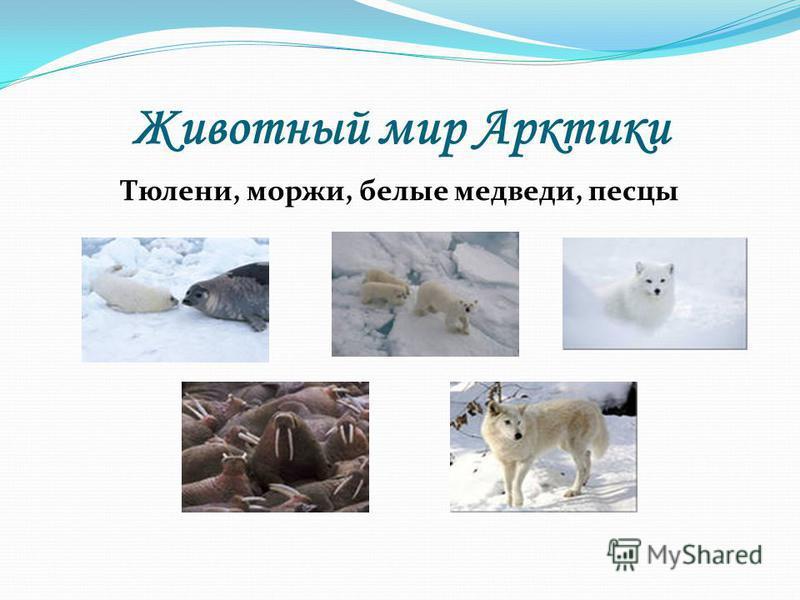 Животный мир Арктики Тюлени, моржи, белые медведи, песцы