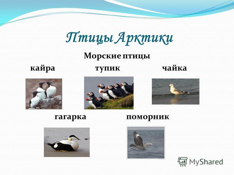 Птицы Арктики Морские птицы кайра тупик чайка гагарка поморник