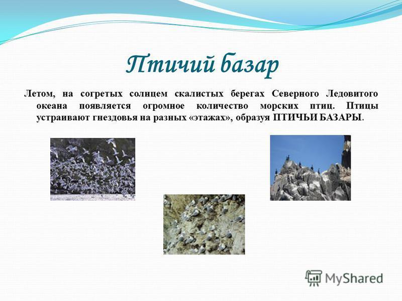 Птичий базар Летом, на согретых солнцем скалистых берегах Северного Ледовитого океана появляется огромное количество морских птиц. Птицы устраивают гнездовья на разных «этажах», образуя ПТИЧЬИ БАЗАРЫ.