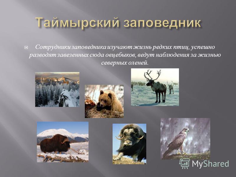 Сотрудники заповедника изучают жизнь редких птиц, успешно разводят завезенных сюда овцебыков, ведут наблюдения за жизнью северных оленей.