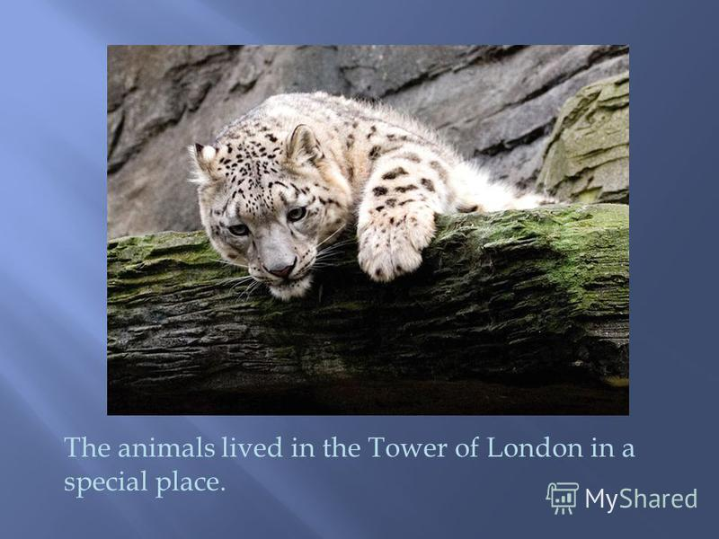 The animals lived in the Tower of London in a special place.