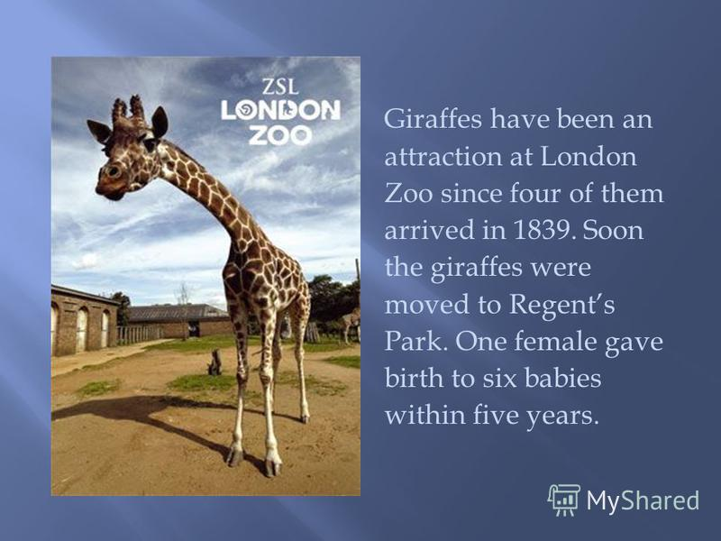 Giraffes have been an attraction at London Zoo since four of them arrived in 1839. Soon the giraffes were moved to Regents Park. One female gave birth to six babies within five years.