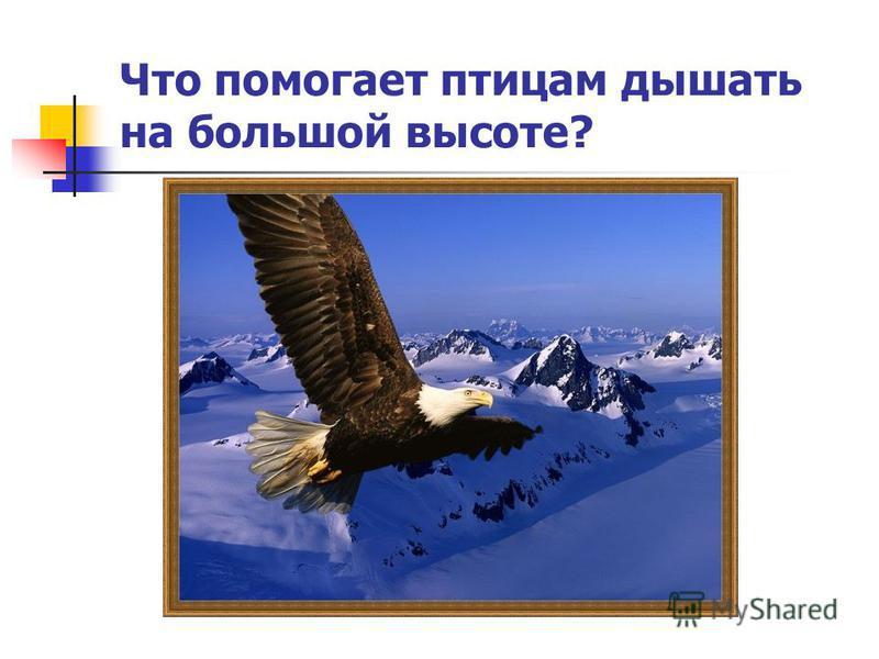 Что помогает птицам дышать на большой высоте?
