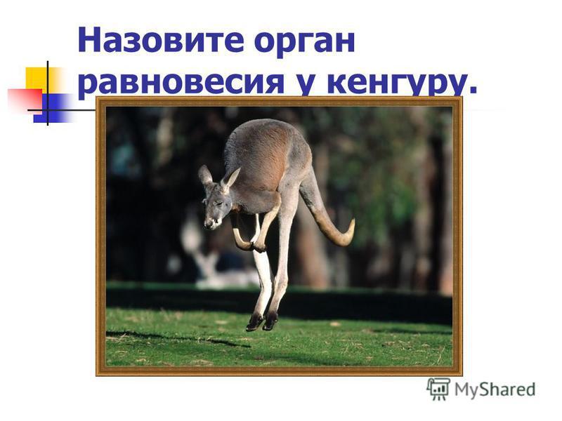Назовите орган равновесия у кенгуру.