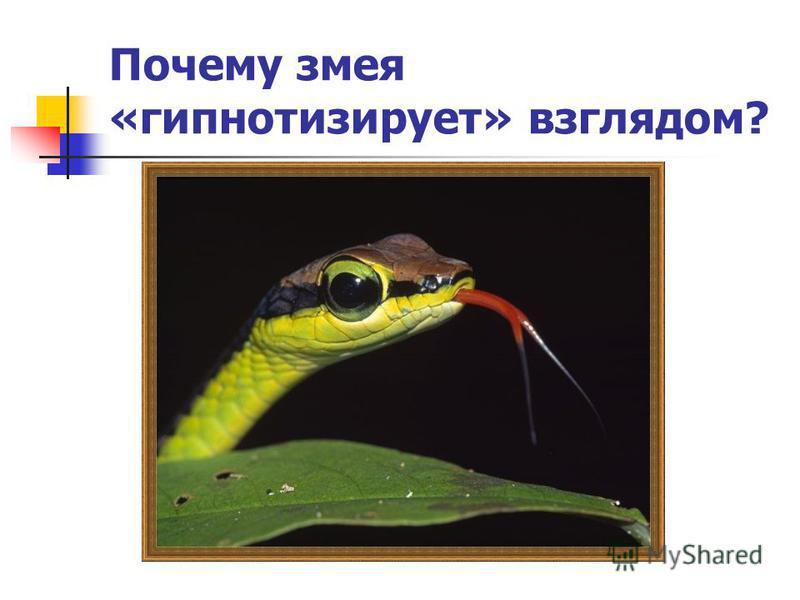 Почему змея «гипнотизирует» взглядом?