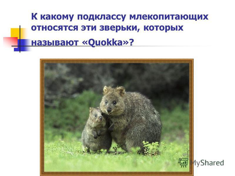 К какому подклассу млекопитающих относятся эти зверьки, которых называют «Quokka»?