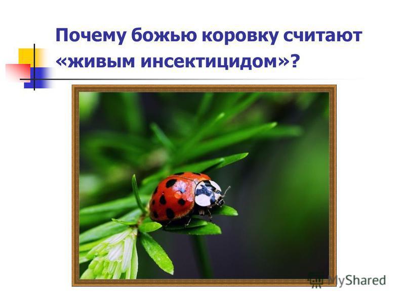 Почему божью коровку считают «живым инсектицидом»?
